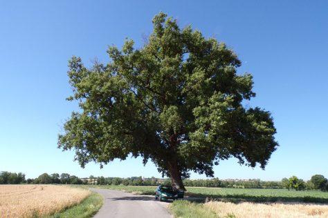 Chêne bicentenaire de Chassors (17 juin 2017)