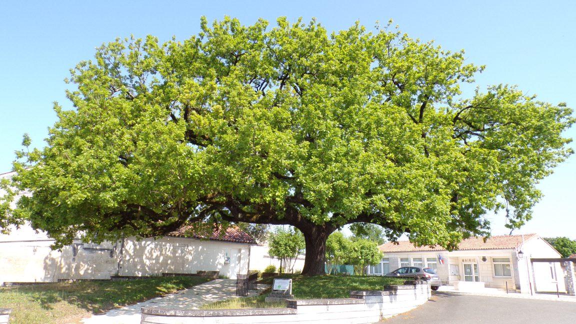 Saint-Même les Carrières - Le chêne pédonculé (5 mai 2018)