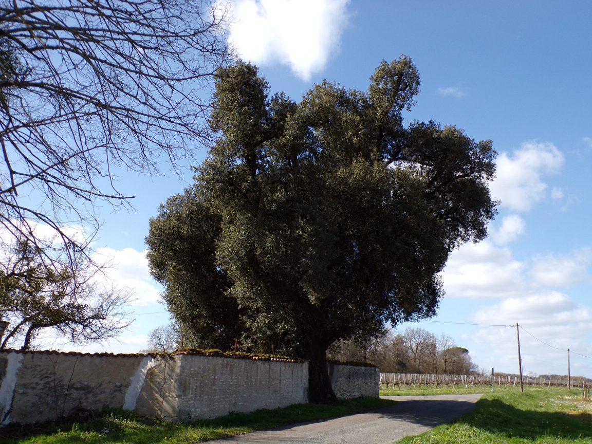 Javrezac - Le chêne bicentenaire Clos de Fléac (11 mars 2019)
