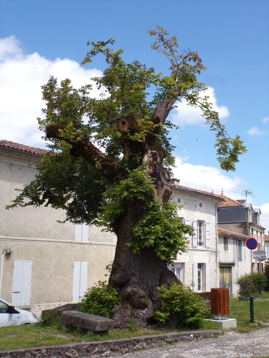 Chérac - Le tilleul du centre ville (16 juin 2019)